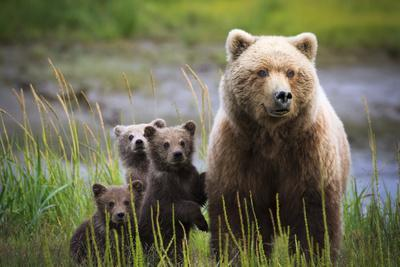 3 Cubs Stand Next To Their Mother Startled By River Otter Near The Coast Of Lake Clark NP In Alaska