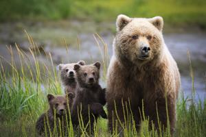 3 Cubs Stand Next To Their Mother Startled By River Otter Near The Coast Of Lake Clark NP In Alaska by Jay Goodrich