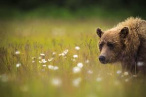 A Female Brown Bear Feeds On Sedge Grasses And Daisies In Lake Clark National Park Alaska At Sunset by Jay Goodrich