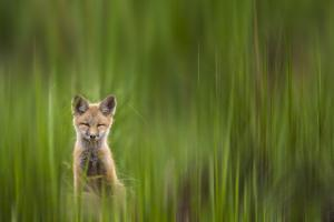 A Fox Kit Stares At The Photographer Only To Go Cross-Eyed In The Process, Eagle, Colorado by Jay Goodrich