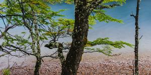 A Glacier River Flows Through Wind Driven Beech Trees in Los Glacieres National Park, Argentina by Jay Goodrich