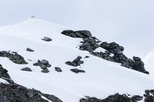 A Lone Mountain Goat Surprising Camera Operator Matt Hines by Jay Goodrich