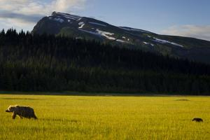 An Alaskan Brown Bear Cub Follows His Mother Across A Sedge Flat In Lake Clark NP, Alaska by Jay Goodrich