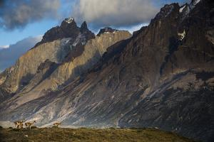 Guanacos (Lama Guanicoe) Grazing With Cuernos Del Paine Peaks In The Background by Jay Goodrich