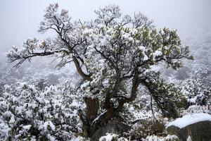 Montane Chaparral Vegetation, Xerophytic Shrubs, Snow Covered Singeleaf Pinyon, Sierra Nevada by Jay Goodrich