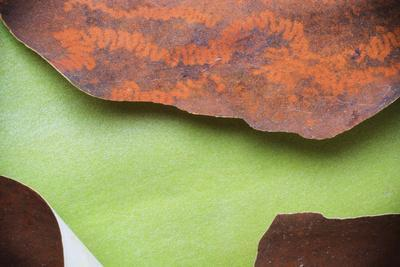 Peeling Madrone Tree Bark with Insect Trails Consuming Lichen Growth in La Conner Washington