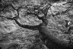 The Curved Lines of an Antarctic Beech Trunk Flow into Los Glacieres National Park in Argentina by Jay Goodrich