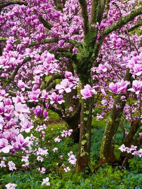 Cherry Blossom Tree in Spring Bloom, Wilmington, Delaware, Usa by Jay O'brien