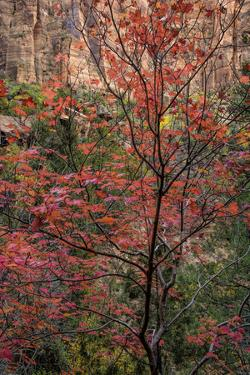 USA, Utah, Zion National Park. Autumn Scenic by Jay O'brien
