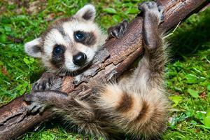 Raccoon Learning to Climb by Jay Ondreicka
