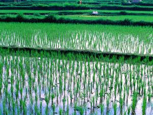 Rice Cultivation, Bali, Indonesia by Jay Sturdevant