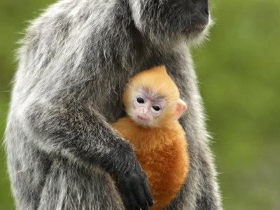 Silver Leaf Monkey and Offspring, Bako National Park, Borneo, Malaysia