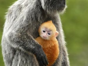 Silver Leaf Monkey and Offspring, Bako National Park, Borneo, Malaysia by Jay Sturdevant