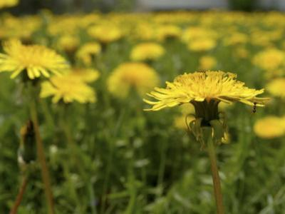 Minnesota, Minneapolis, a Lone Ant Is Found Foraging in a Field of Dandelions in a Backyard by Jayme Halbritter