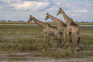 Africa, Botswana, Chobe National Park. Giraffes in savanna. by Jaynes Gallery