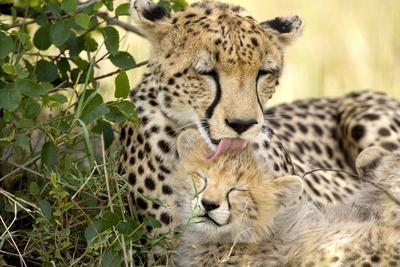 Africa, Kenya, Masai Mara National Reserve. Cheetah mother licking cub.