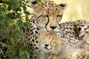 Africa, Kenya, Masai Mara National Reserve. Cheetah mother licking cub. by Jaynes Gallery