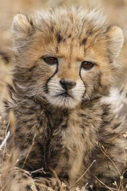 Africa, Kenya, Masai Mara National Reserve. Portrait of cheetah cub. by Jaynes Gallery