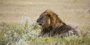 Africa, Namibia, Etosha National Park. Adult Male Lion Resting by Jaynes Gallery