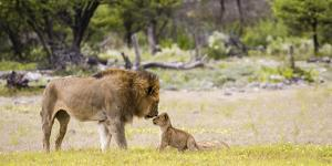 Africa, Namibia, Etosha National Park. Alpha Male Lion Inspects Cub by Jaynes Gallery