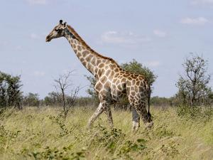 Africa, Namibia, Etosha National Park. Giraffe Walking Through Grasses by Jaynes Gallery