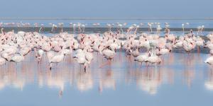 Africa, Namibia, Walvis Bay. Group of Greater Flamingos by Jaynes Gallery