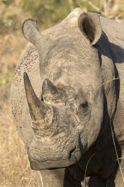 Africa, South Africa. Close-Up of Rhinoceros by Jaynes Gallery