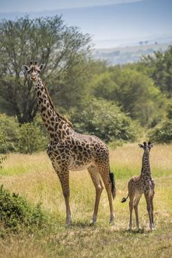 Africa, Tanzania, Serengeti National Park. Giraffe parent and young. by Jaynes Gallery