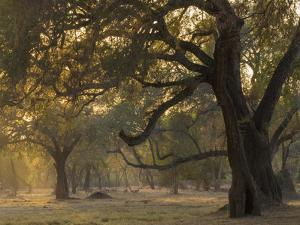 Africa, Zambia. Sunset on Forest by Jaynes Gallery
