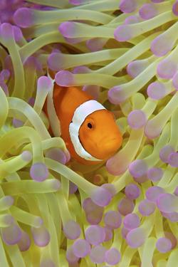 Anemonefish in Protective Anemone, Raja Ampat, Papua, Indonesia by Jaynes Gallery