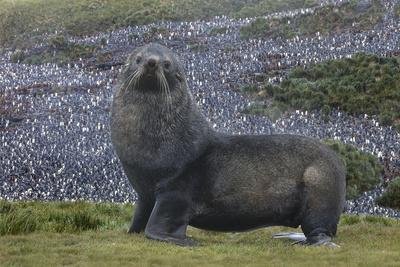 Antarctica, St. George Island. Fur seal close-up and thousands of king penguins in background.