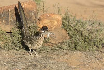 Arizona, Amado. Greater Roadrunner with Lizard