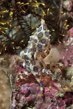 Blue-Ring Octopus and Coral, Raja Ampat, Papua, Indonesia by Jaynes Gallery