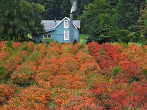 Blueberry Farm in Autumn Colors, Clackamas County, Oregon, USA by Jaynes Gallery