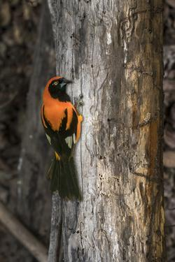 Brazil, Pantanal. Orange-backed Troupial on tree. by Jaynes Gallery