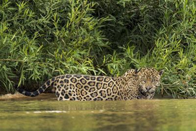 Brazil, Pantanal. Wild jaguar in water. by Jaynes Gallery