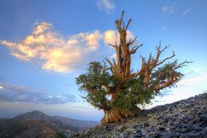 California. Bristlecone Pine Tree in White Mountains by Jaynes Gallery