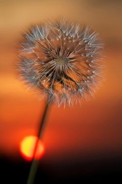California. Dandelion at Sunset by Jaynes Gallery