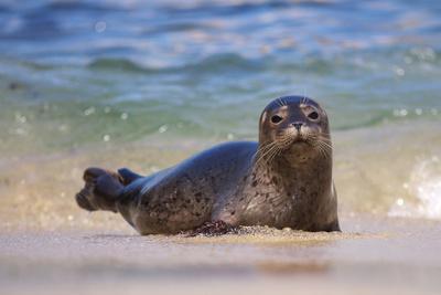 California, La Jolla. Baby Harbor Seal in Beach Water