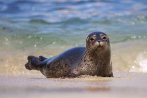California, La Jolla. Baby Harbor Seal in Beach Water by Jaynes Gallery