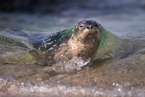 California, La Jolla. Baby Harbor Seal on Beach by Jaynes Gallery