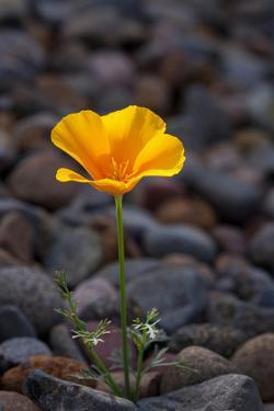 California. Poppy Wildflower and Rocks by Jaynes Gallery