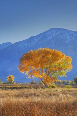 California, Sierra Nevada Range. Backlit Cottonwood Tree in Owens Valley by Jaynes Gallery