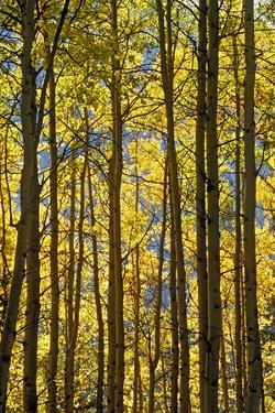 Canada, Alberta, Banff National Park. Aspen trees in autumn color. by Jaynes Gallery