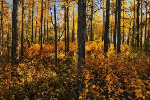 Canada, Alberta, Elk Island National Park. Aspen forest in autumn color. by Jaynes Gallery