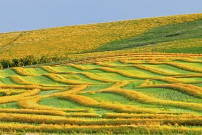 Canada, Alberta, Trochu. Canola swaths in farm field. by Jaynes Gallery