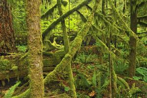 Canada, Bc, Mcmillan Park. Trees in Cathedral Grove Rain Forest by Jaynes Gallery