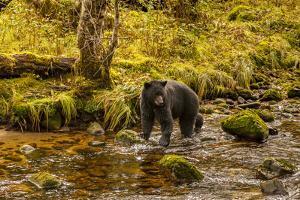 Canada, British Columbia, Inside Passage. Black Bear Fishing on Riordan Creek by Jaynes Gallery