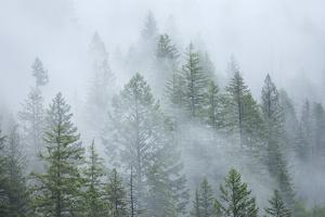 Canada, British Columbia, Nancy Green Provincial Park. Mountain forest in fog and rain. by Jaynes Gallery