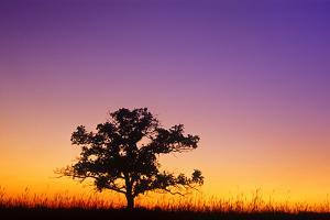 Canada, Manitoba. Bur oak tree in tall grass prairie at dawn. by Jaynes Gallery